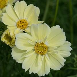 Cosmos Plants -Xanthos Lemon Sherbet