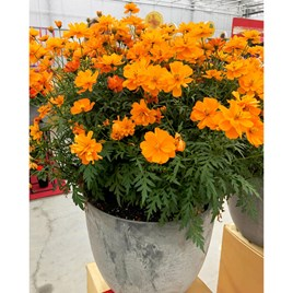 Cosmos Plug Plants - Mandarin