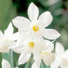 Daffodil Bulbs - Thalia
