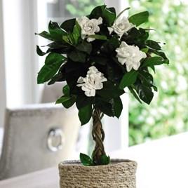 Gardenia Standard Twisted Stem