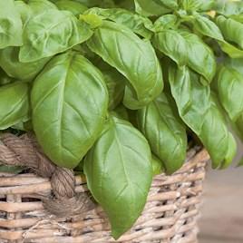 Herb Plant - Basil D-Fencesil (Genovese)