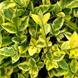 Ligustrum Aureum (Golden Privet) Plants - 2L Value Hedging Range