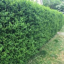 Ligustrum Vulgare (Privet) Plants - 2L Value Hedging Range