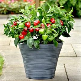 Pepper Patio Veg Plants - Snackabelle