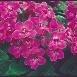 Streptocarpus Plant - Bristol's Very Best