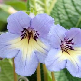 Streptocarpus Plant - Natalie