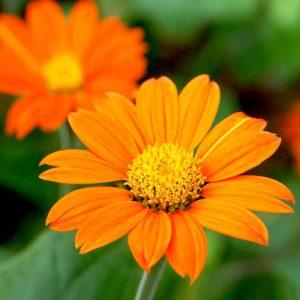 Tithonia Seeds - Orange (Mexican Sunflower)