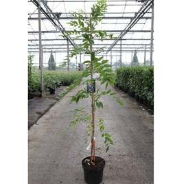 Wisteria floribunda Plant - Rosea (syn. Honbeni)