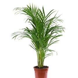 Areca Dypsis Palm Tree (Golden Cane Palm) 12cm Pot