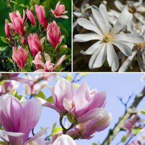 Fragrant Magnolia Collection - Single Established Plant