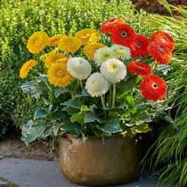 Gerbera Plants - Glorious Orange