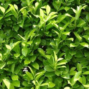 Laurel Hedging Plant 'Prunus Laurocerasus'