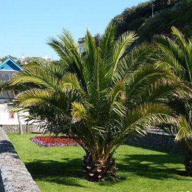 Phoenix Canariensis - Canary Island Date Palms - 2x Mature Potted Plants
