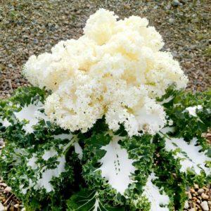 Kale Seeds - Frost Byte F1