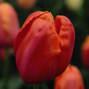 Tulip Avignon