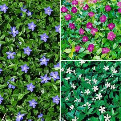 Vinca Collection 9cm - 3x Established Plants