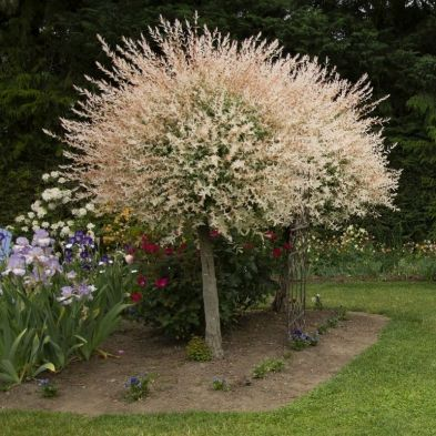Flamingo Willow Salix Integra 'Hakuro-nishiki' Standard