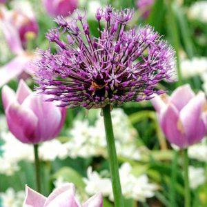 Allium Purple Sensation (Organic)