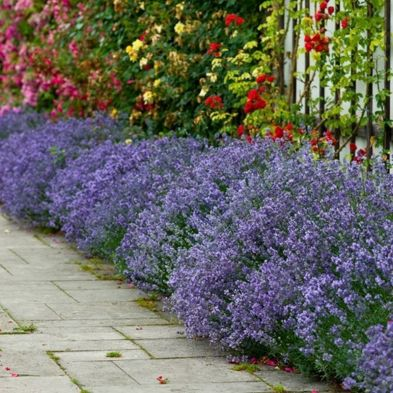 Lavender Munstead - 12x Plugs