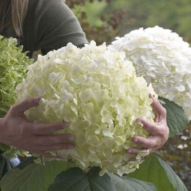 Tree Hydrangea 'Incrediball' - Single Established Plant