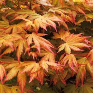Acer Palmatum 'Orange Dream' - Single Established Plant