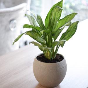 Aglaonema Christina (Chinese Evergreen) 12cm Pot x 1
