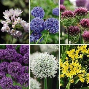 Allium Collection