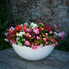 Begonia Plants - Mixed