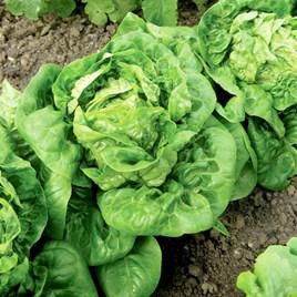 Lettuce (Organic) Seeds - Little Gem