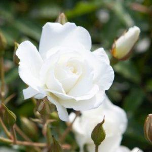 Rose 'Iceberg' - Single Established Plant